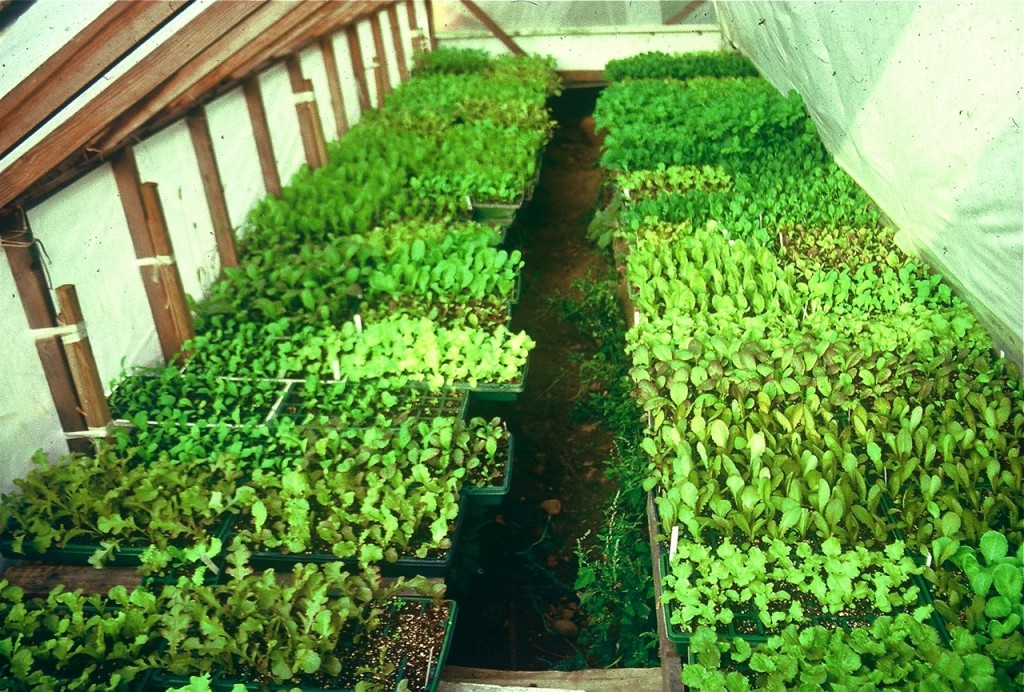 Walk-in coldframe for transitioning to outdoor gardens.
