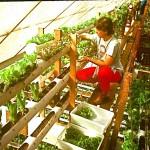 Marianne harvesting upper 4 levels.