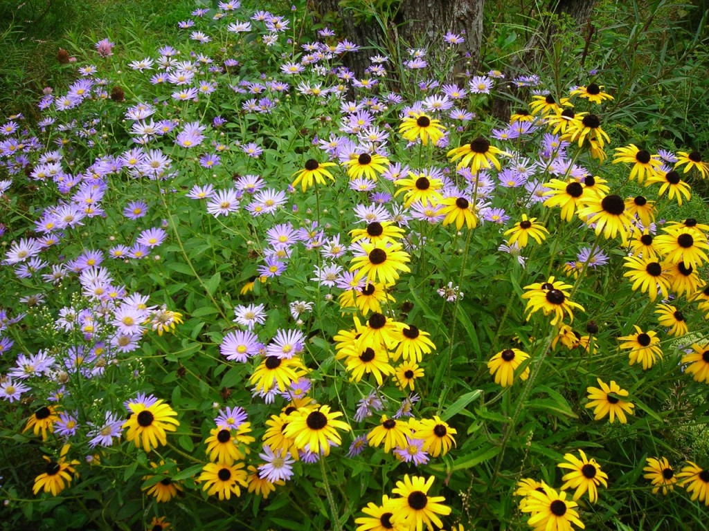 Asters, black-eyed-Susan.
