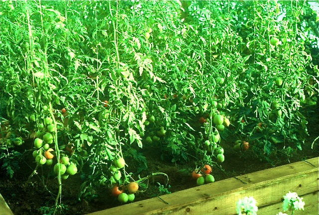 Thousands of tomatoes ripening in mid-winter.