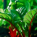 Glorious swiss chard in continuous production for 3 years