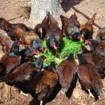 Oh, such lucky happy healthy hens! -  a daily feast of healthy living ryegrass..