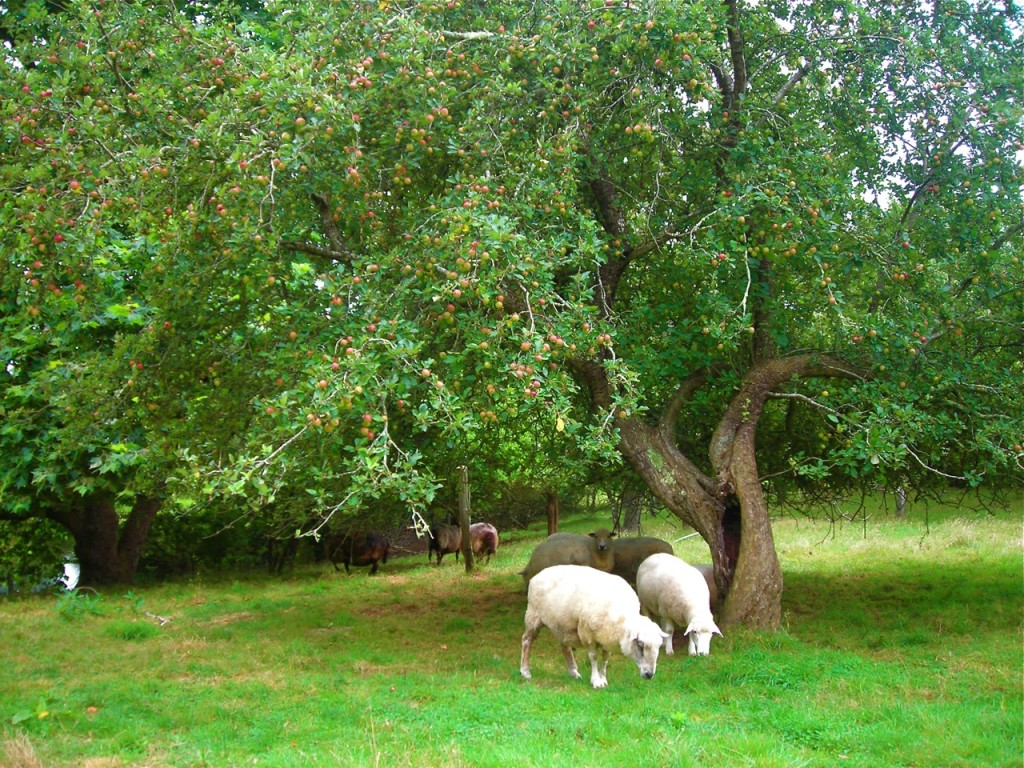 For a month, the sheep feast on apples