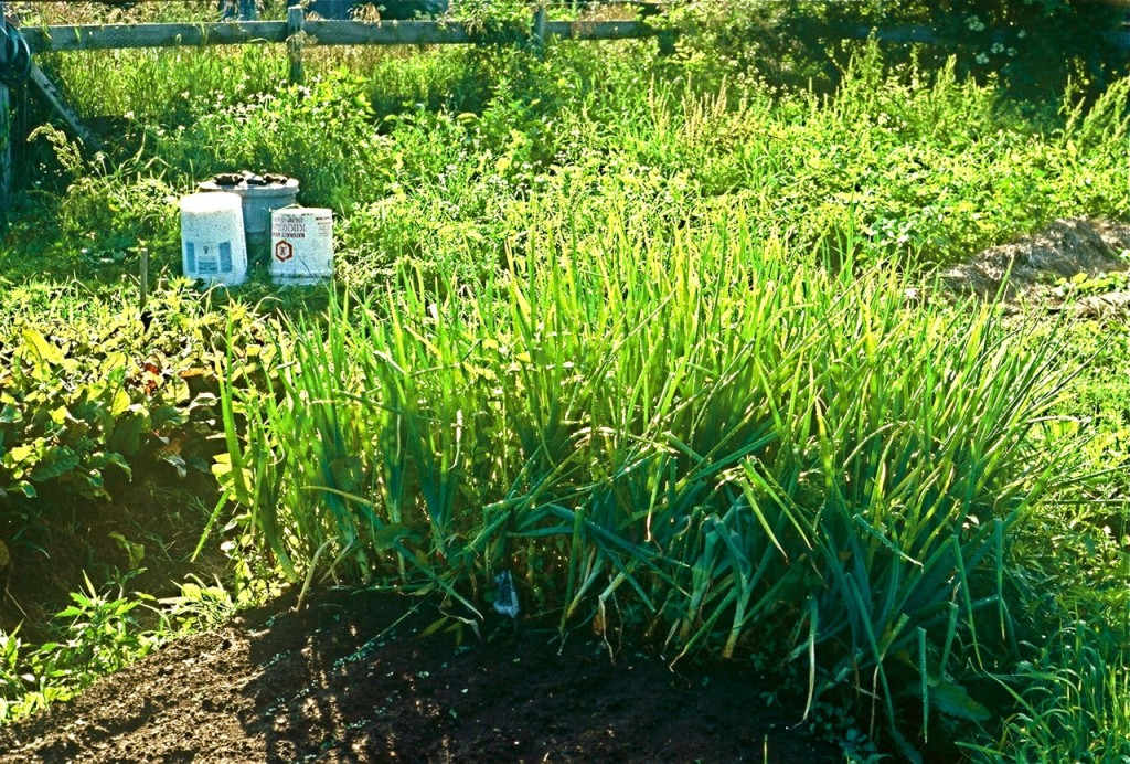My urine fertilizer produced 350 onions on just one square meter of garden.