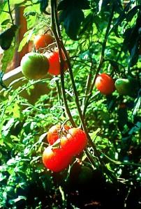 Home GH tomato vine