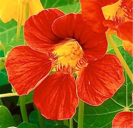 Nasturtium Flowers_3